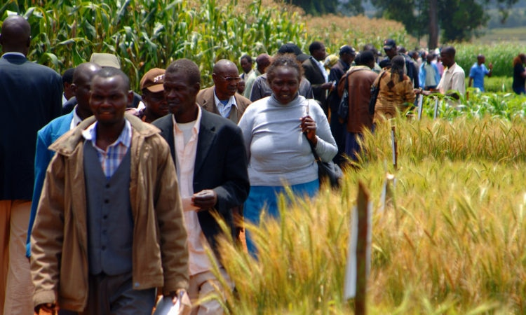 People walking through a field of wheat. Photo: Greg Webb, IAEA
