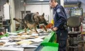 German Shepherd dog stands on a conveyor belt at a mail facility and holds a dummy in its mouth, while receiving orders from a man wearing a U.S. Customs and Border Patrol uniform.